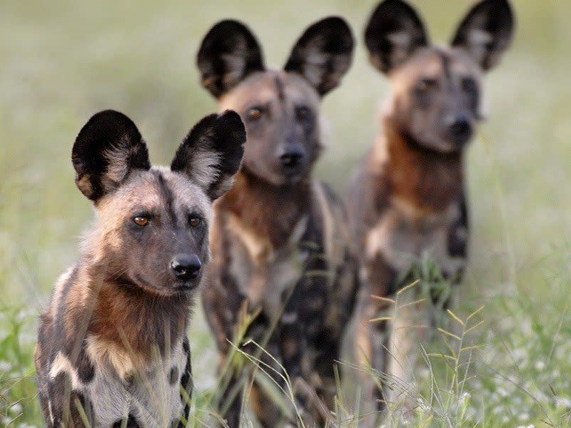 Pembury Tours - Kafue National Park - Zambia - Wildlife - Big Five Game Viewing - Game Drive - Wild Dog