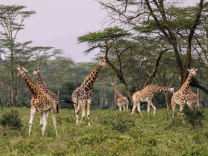 Pembury Tours - Kafue National Park - Zambia - Wildlife - Big Five Game Viewing - Game Drive - Giraffes