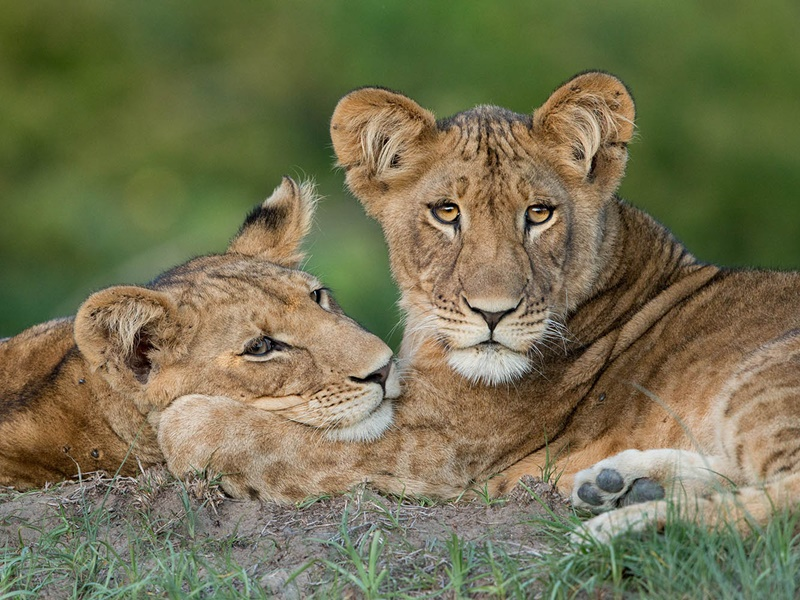 Pembury Tours - Kafue National Park - Zambia - Wildlife - Big Five Game Viewing - Game Drive - Lioness