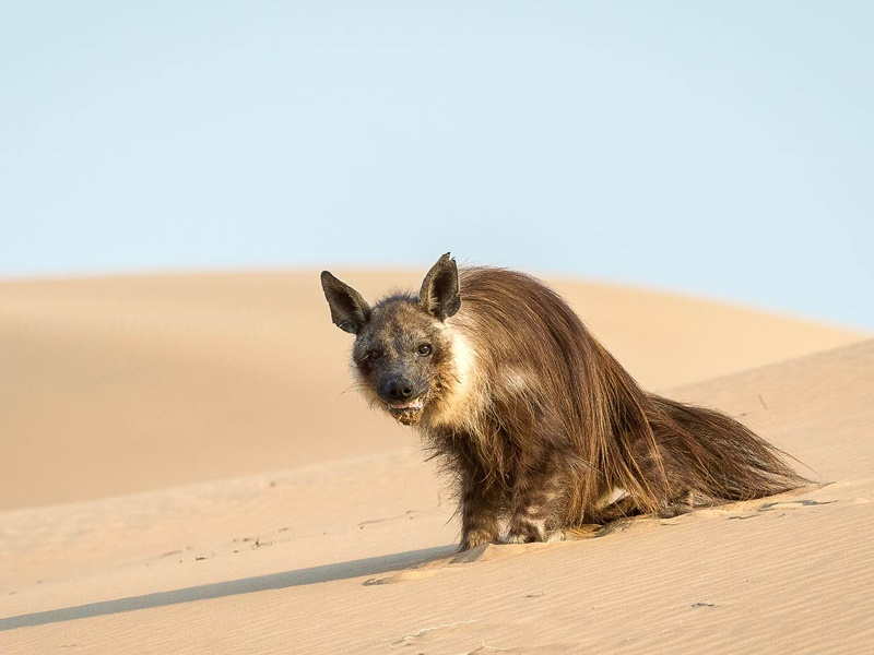 Pembury Tours - Hoanib Skeleton Coast - Namibia - Wildlife - Game Viewing - Desert Hyena