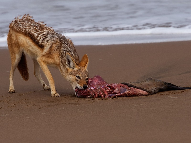 Pembury Tours - Hoanib Skeleton Coast - Namibia - Wildlife - Game Viewing - Jackal